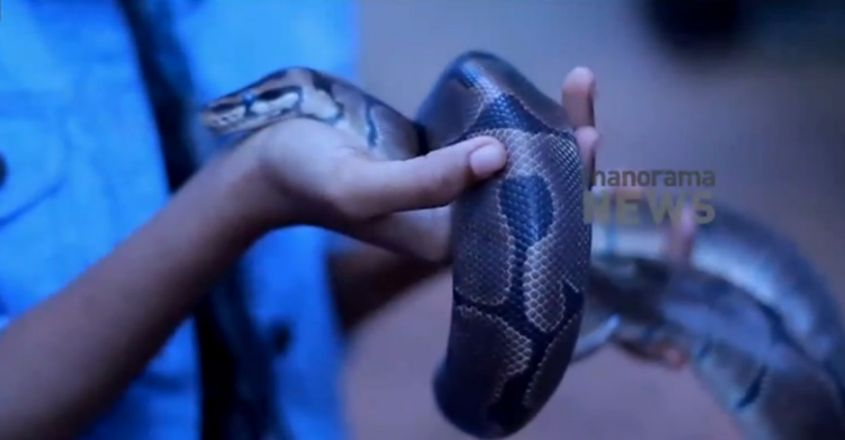 African ball python is this man's pet snake