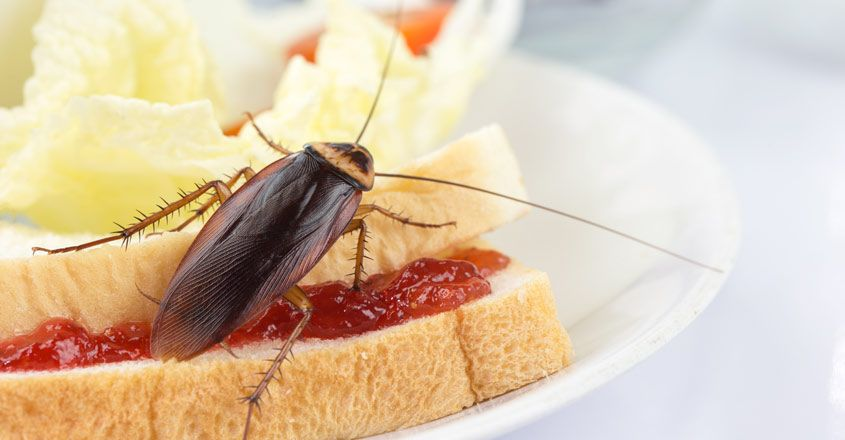 cockroach-in-household