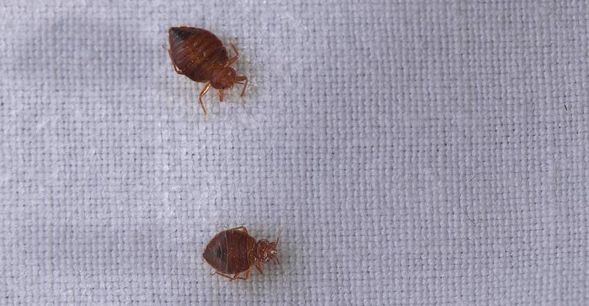 bedbugs-view