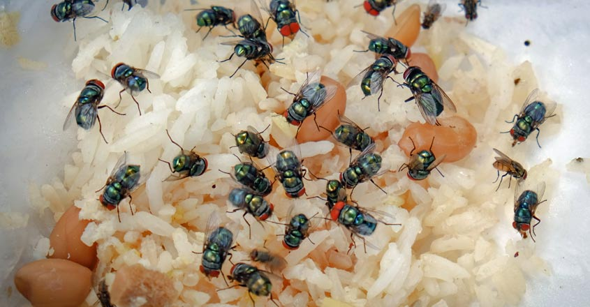 housefly-in-food