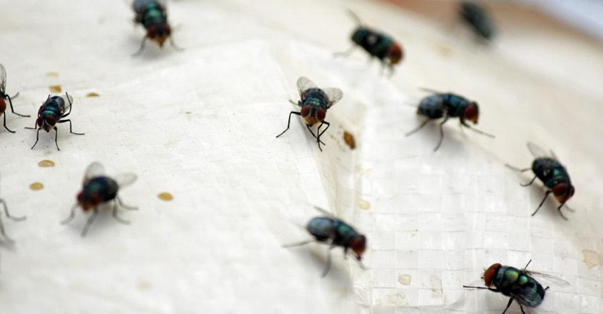 housefly-in-kitchen
