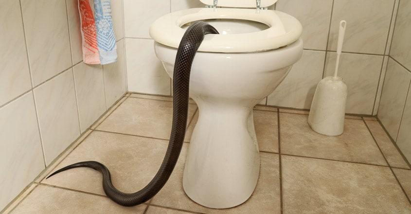 snake-inside-toilet