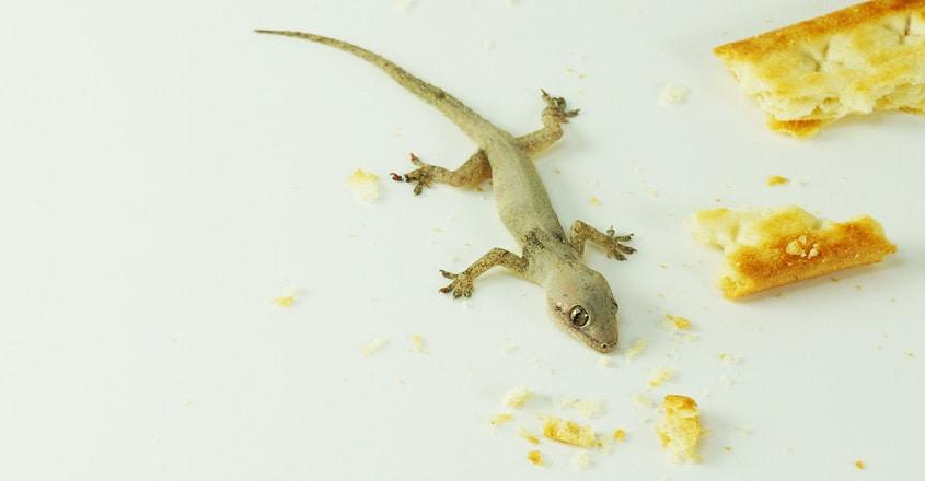 lizard-at-house