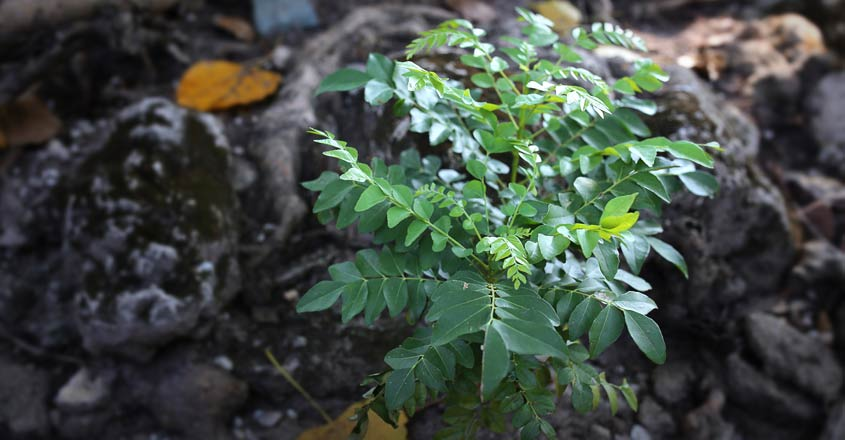 curry-leaf-plant