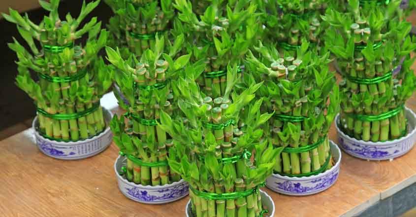 lucky-bamboo-home