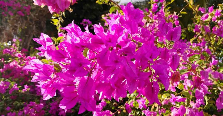 bougainvillea-flower