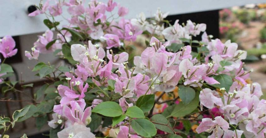 bougainvillea-light-pink