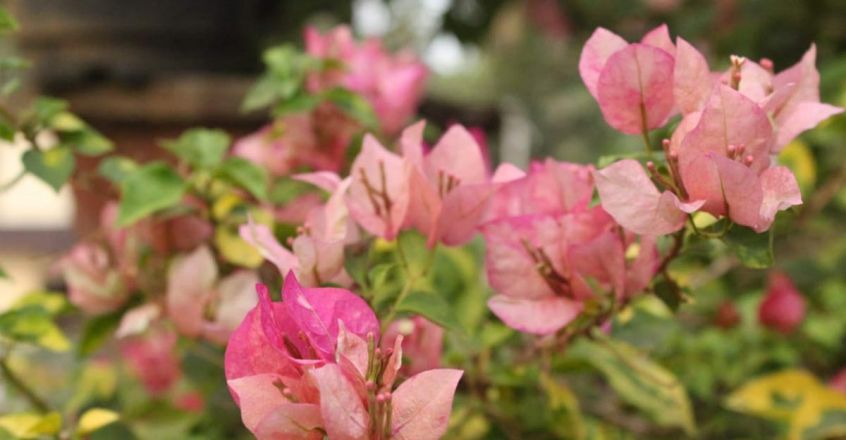 bougainvillea-rose