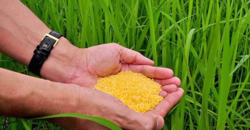 Golden Rice grain in screenhouse of Golden Rice plants.