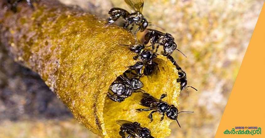 stingless-bee