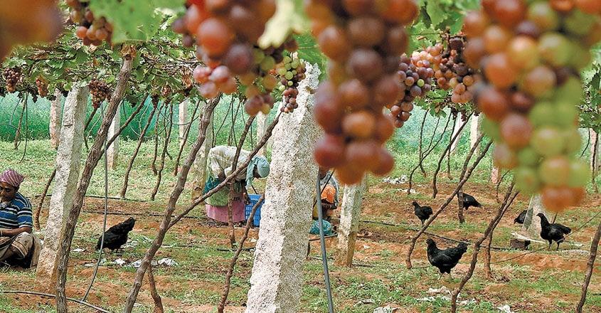 vineyards-tenkasi4