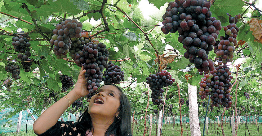 vineyards-tenkasi844