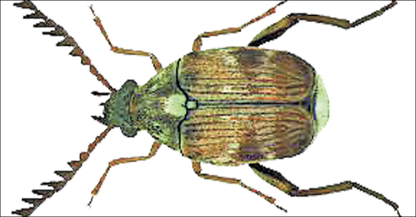 Pulse-beetle