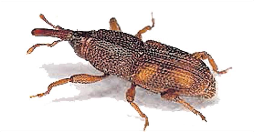 Rice-weevil