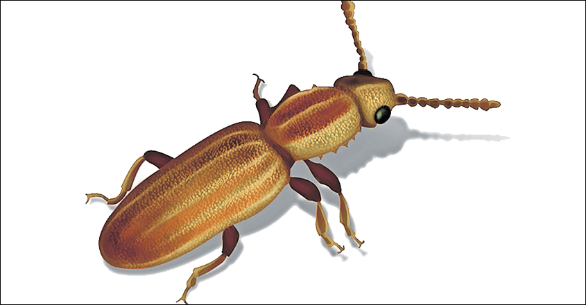 Saw-toothed-grain-beetle