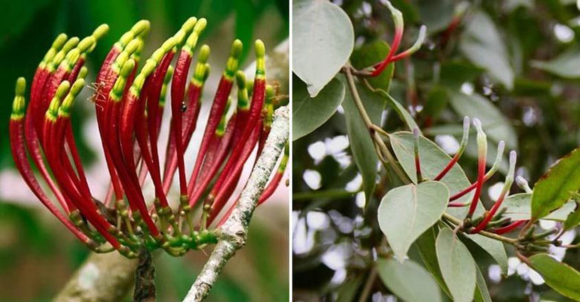 ithil-kanni-loranthus