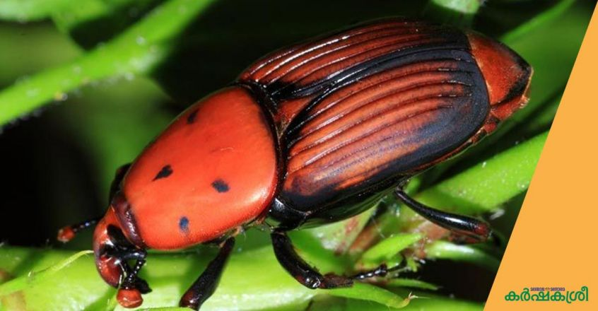 red-palm-weevil
