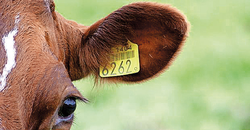 cattle-tag