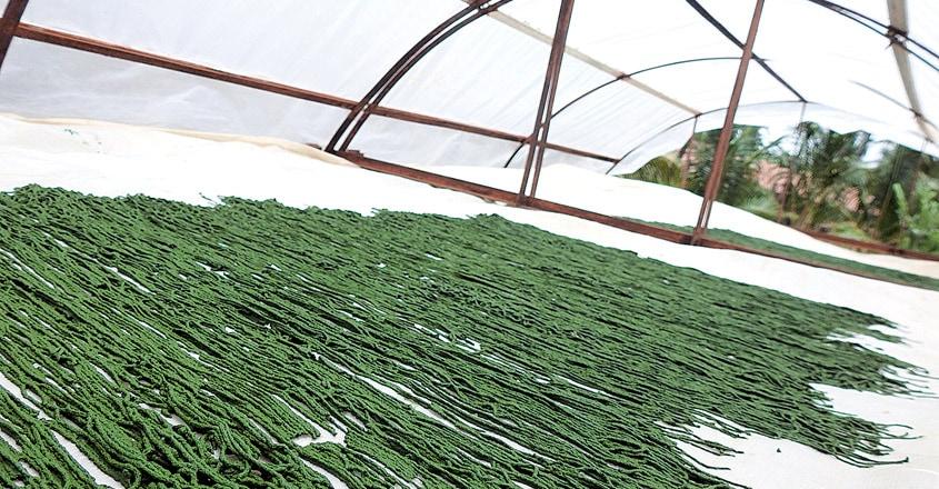 Microalgae-cultivation