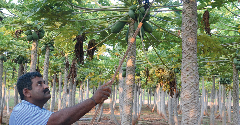 Papaya-Farming