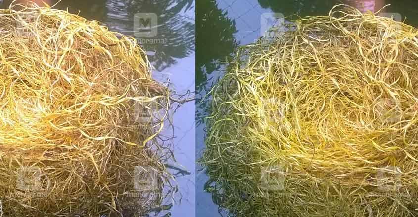giant-gourami-nest