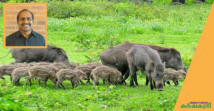 wild-boar-1