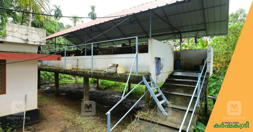 elevated-cattle-shed-3