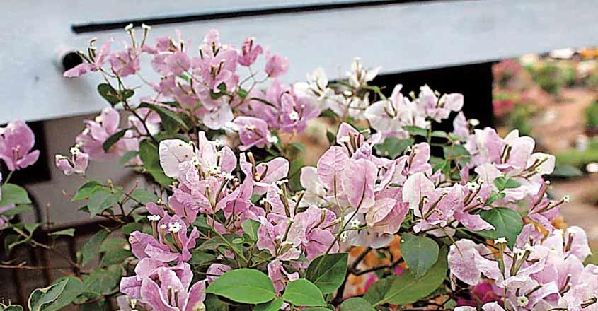 boca-villa-flower3
