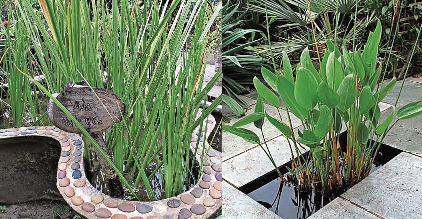 ornamental-aquatic-plants-2
