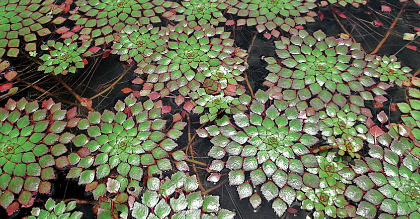 water-mosaic-plant-3