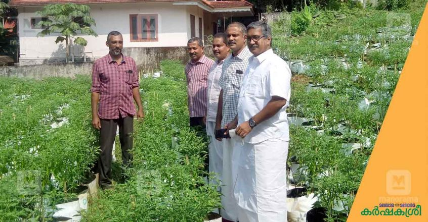 green-chilly-cultivation