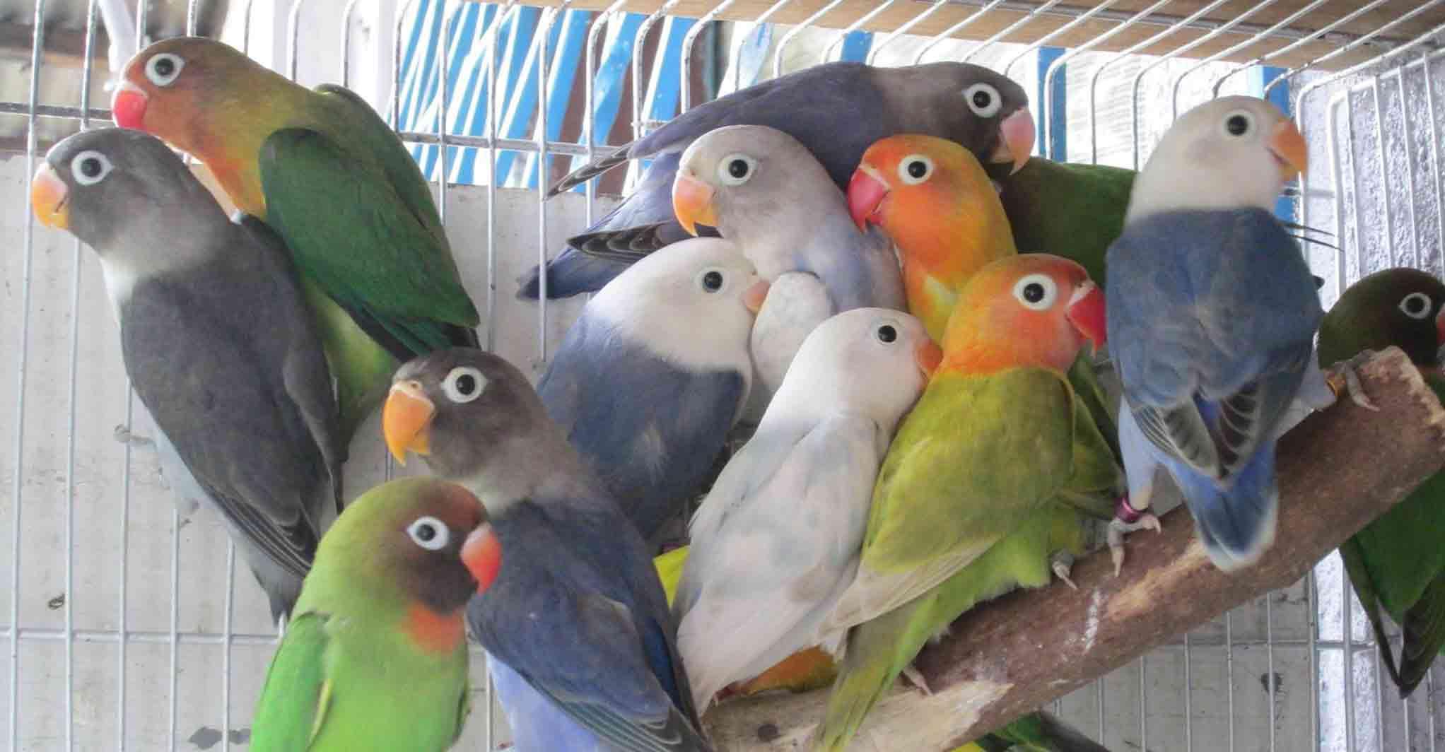 african-love-birds