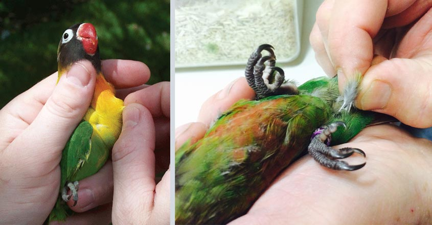 parrot-sexing