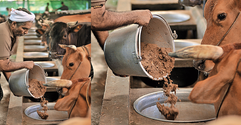 cow-feed