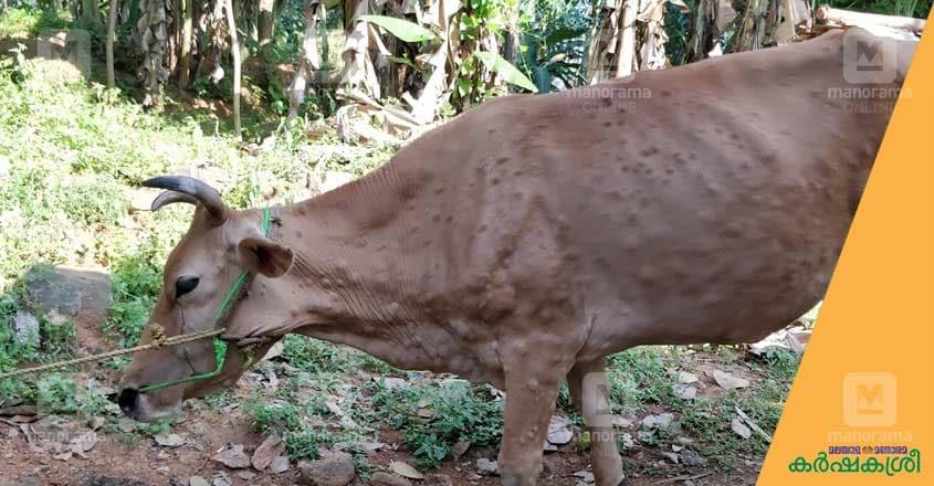 lumpy-skin-disease-7