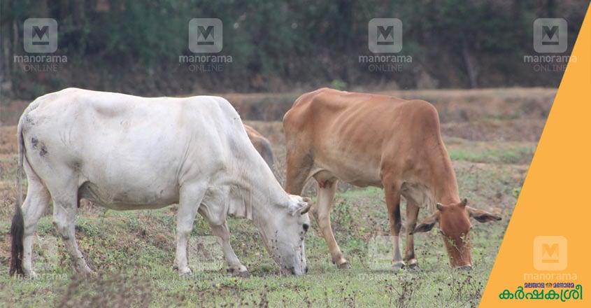 ananganmala-cow-1