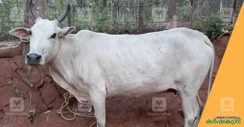 ananganmala-cow