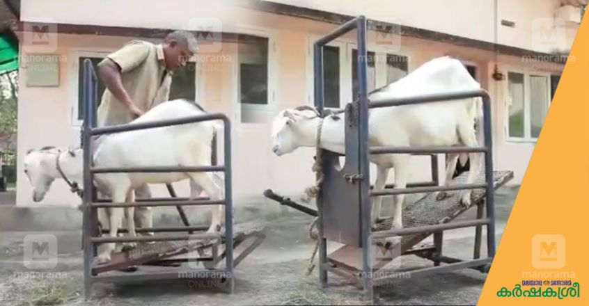 artificial-insemination-in-goats-1