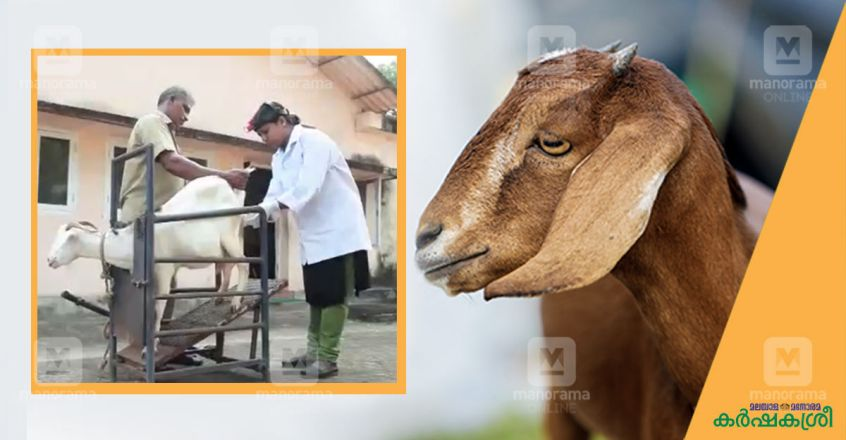 artificial-insemination-in-goats-3