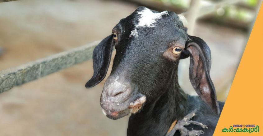 orf-in-goat