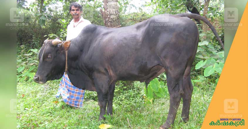 vadakara-cow-2