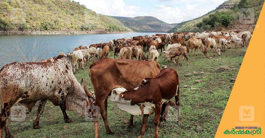 poda-thuruppu-cattle