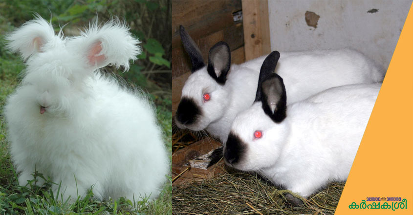 angora-and-californian