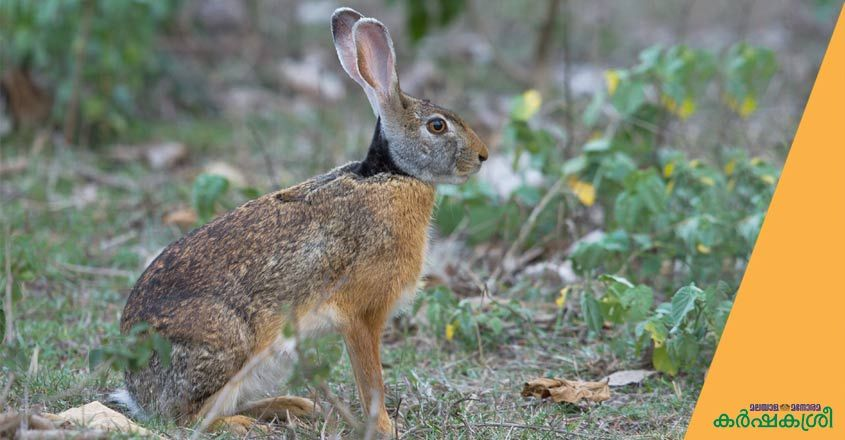 indian-hare