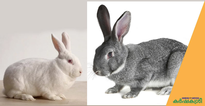 new-zeland-white-and-chinchilla