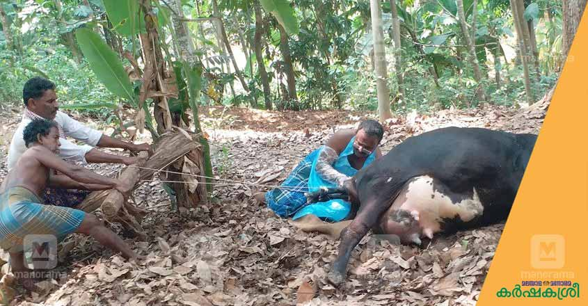 cow-delivery-1