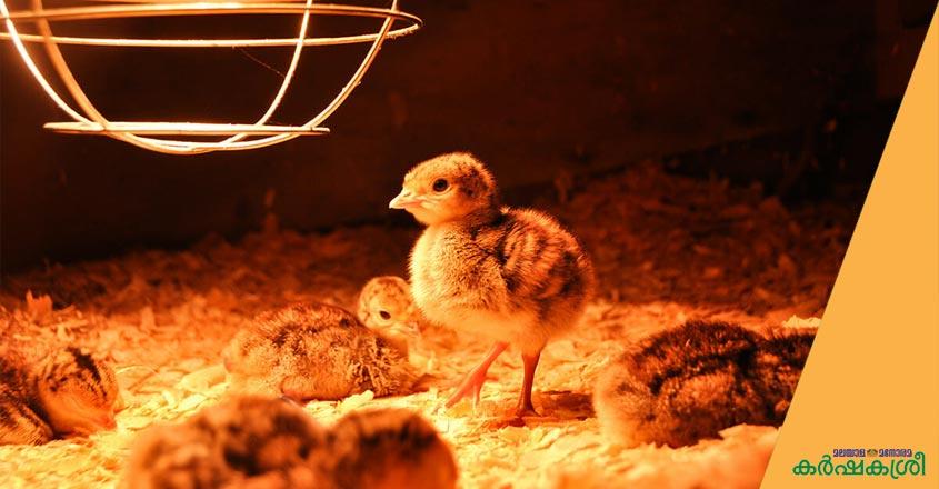 quail-farming-2