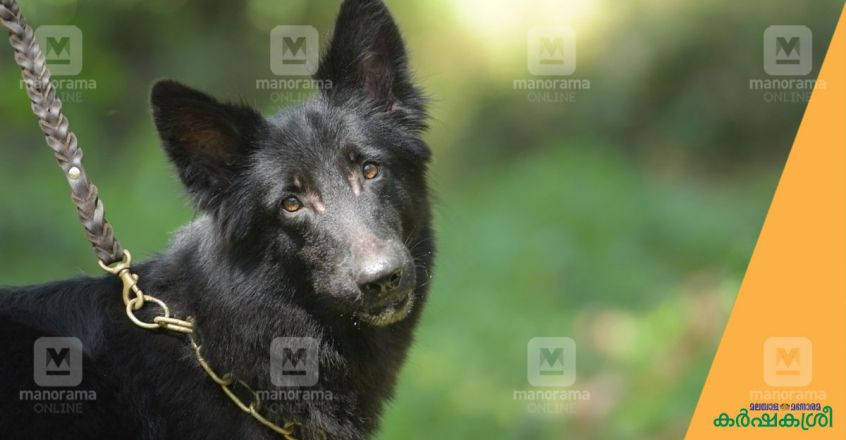 black-german-shepherd-dog