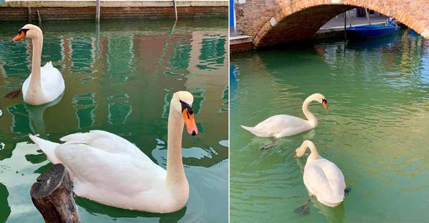 swan-venice