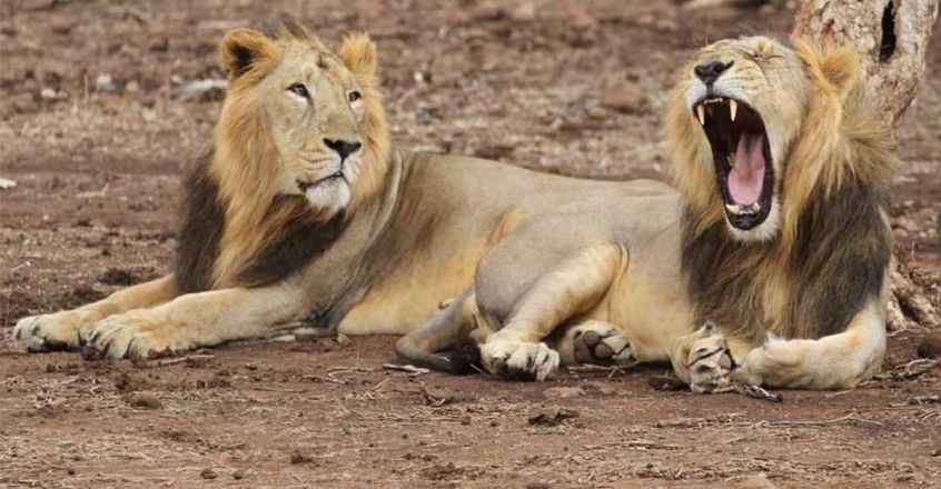 two-lion-lions